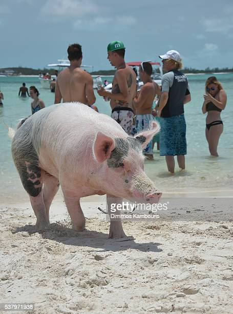 View of pig at Island Routes Caribbean Adventure Tour during Sandals Emerald Bay Celebrity Getaway And Golf Weekend on June 3 2016 in Great Exuma...