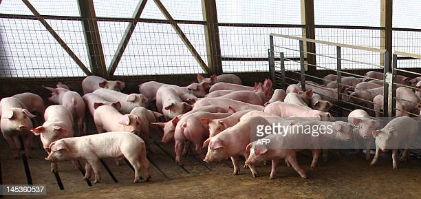 View of pigs in the Agrosuper slaughterhouse in Freirina some 800 km north of Santiago on May 22 2012 Chile's government has ordered about half a...