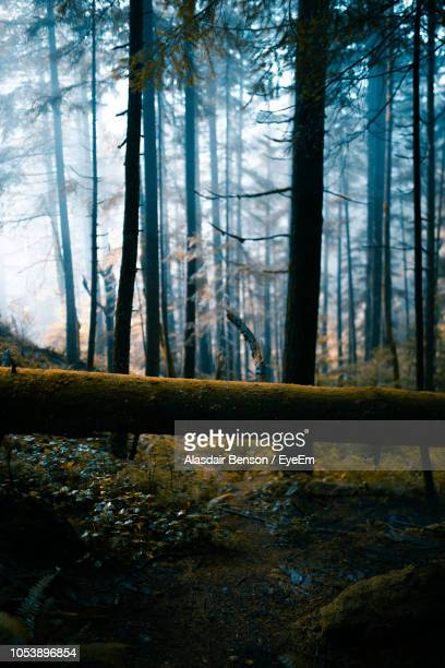 view of pine trees in forest - pinaceae stock pictures, royalty-free photos & images