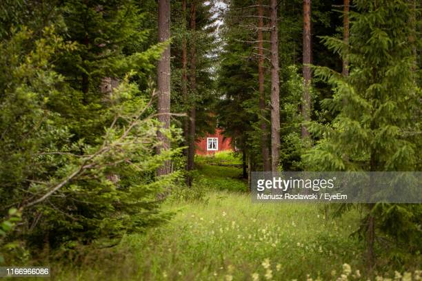 view of pine trees in forest - sweden stock pictures, royalty-free photos & images