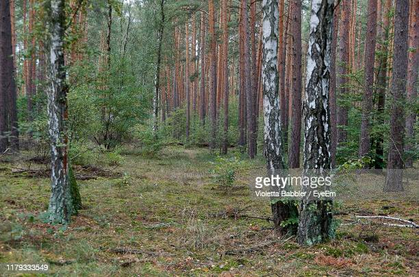 view of pine trees in forest - köpenick stock pictures, royalty-free photos & images