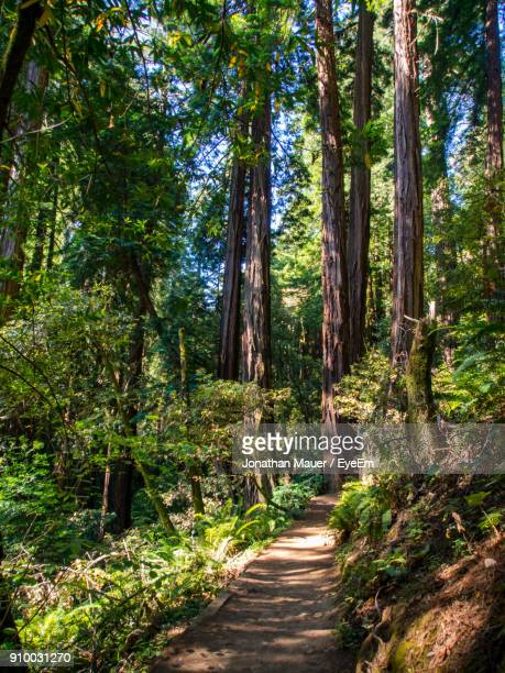 view of pine trees in forest - muir woods stock photos and pictures