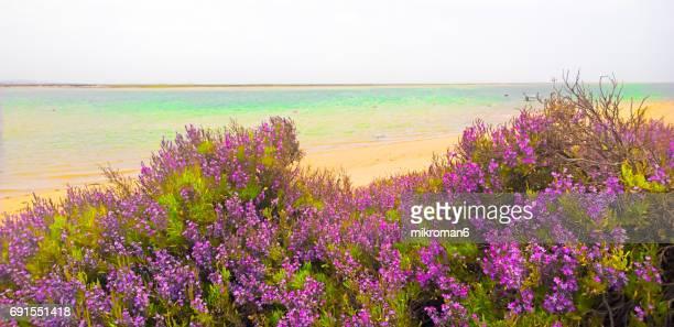 View Of pink flowers and Sand Dune in Ria Formosa lagoon Faro beach on hot summer day. Praia de Faro, Faro, Portugal