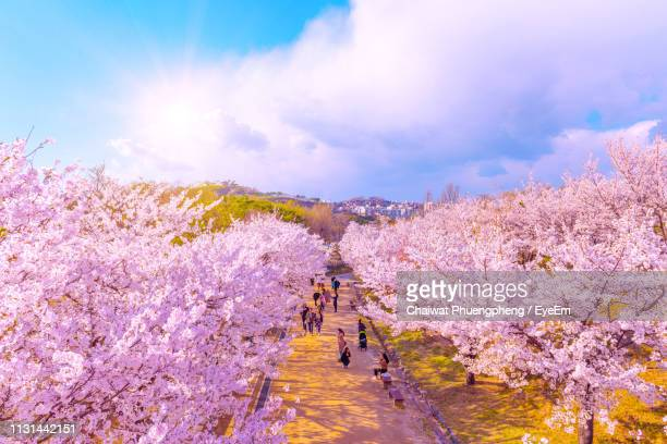 view of pink flowers on landscape against sky - south korea stock pictures, royalty-free photos & images