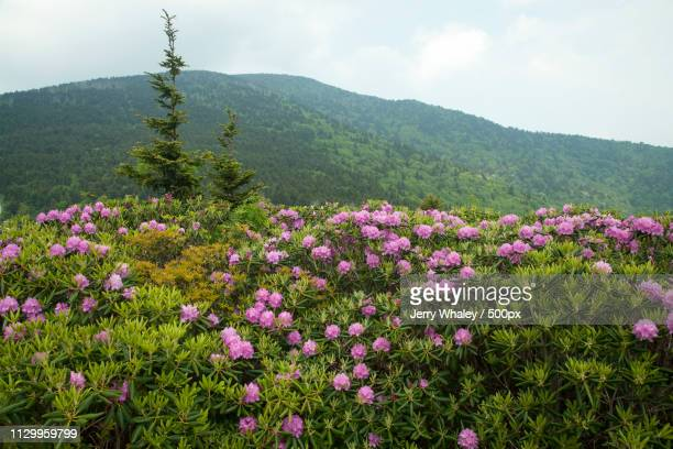 View of pink wildflowers in mountains