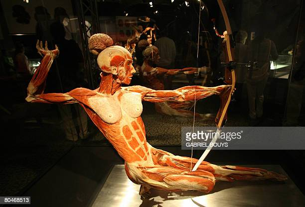 View of plastinated archer at the 'Body Worlds' the anatomical exhibition of real human bodies by German Gunther von Hagens known as 'The...