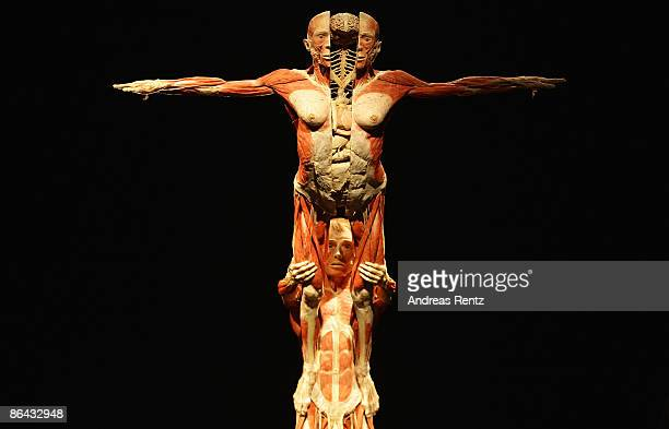 A view of plastinated human bodies exhibit is seen at the 'Body Worlds' exhibition at Postbahnhof on May 6 2009 in Berlin Germany The exhibit opens...