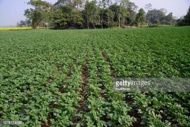 A view of potato field in Munshigonj near Dhaka Bangladesh On January 04 2019