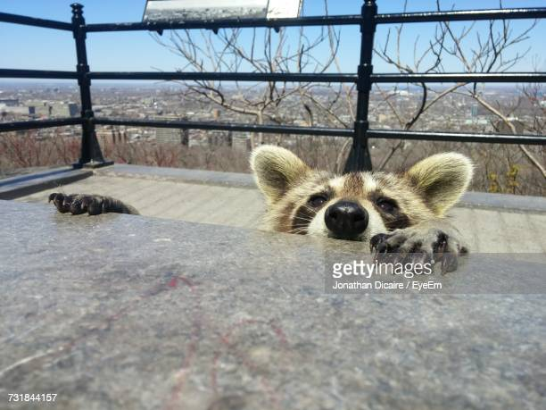 View Of Raccoon Behind Table