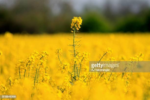 View of Rape Seed (Brassica napus), England, UK