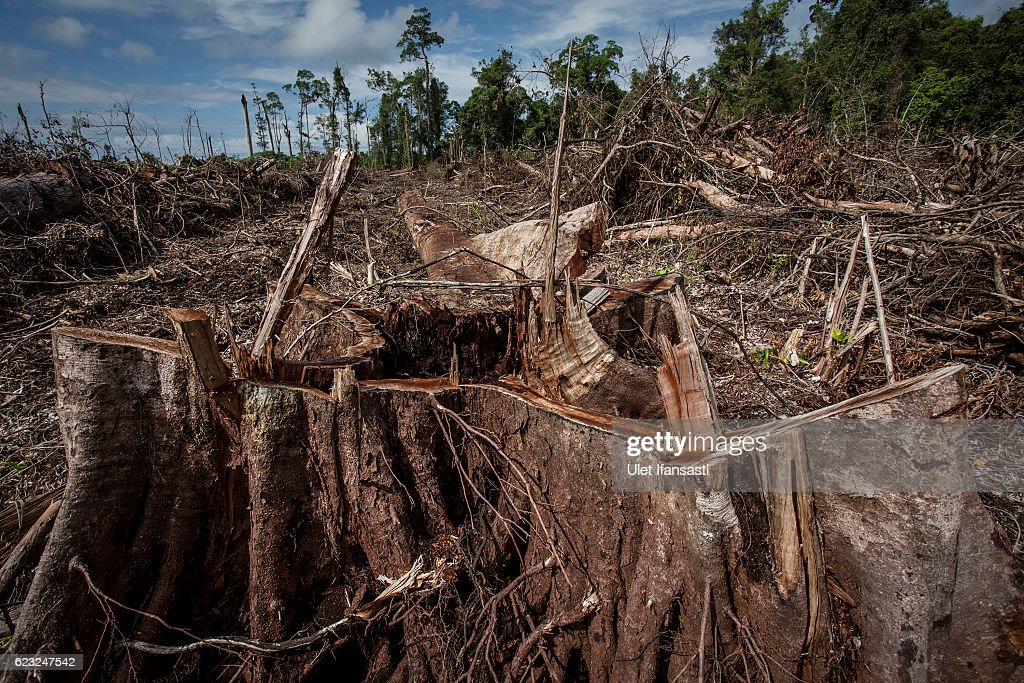 Indonesia's Orangutans Battle With Deforestation : News Photo