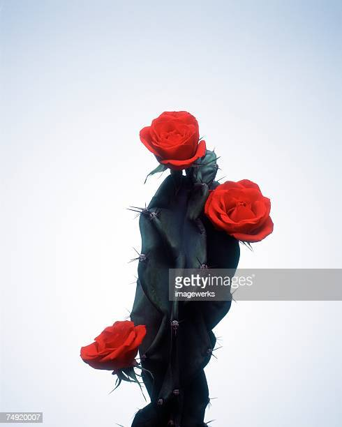 View of red roses on a cactus plant