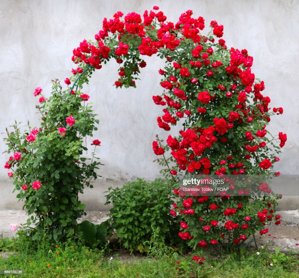 View of red roses : Stock Photo