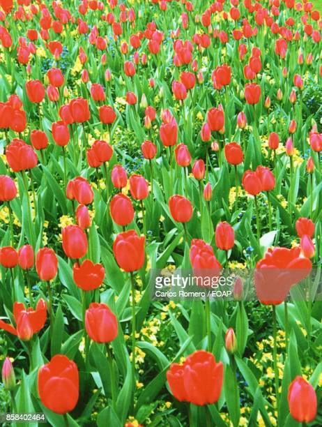 View of red tulip flowers