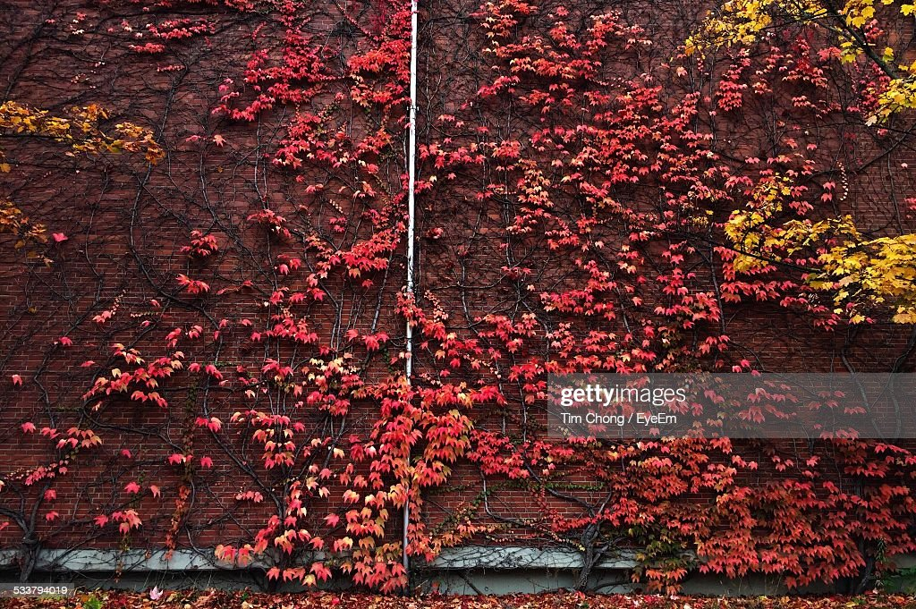 View Of Red Vine On Wall : Foto stock