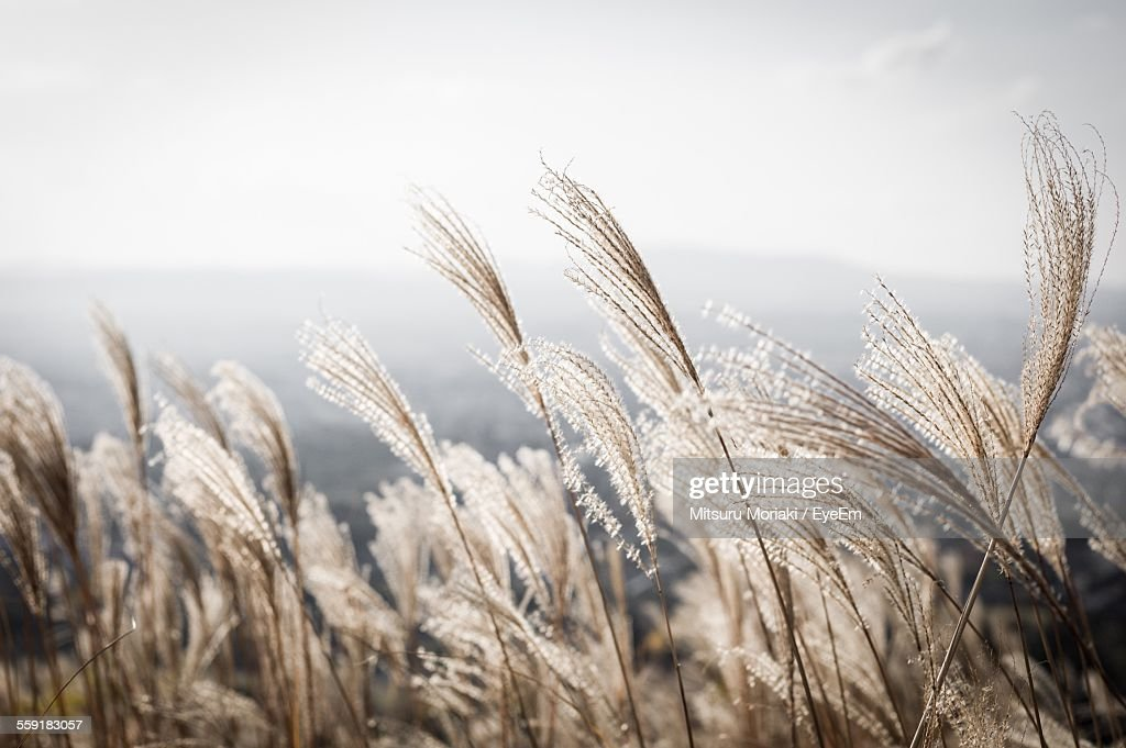 View Of Reed Grass : Stock-Foto