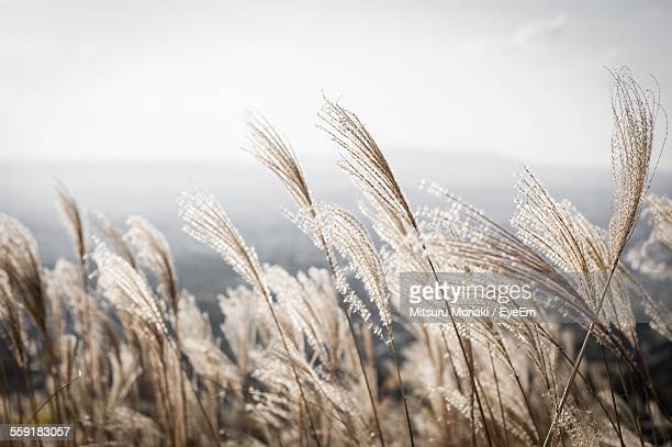 View Of Reed Grass