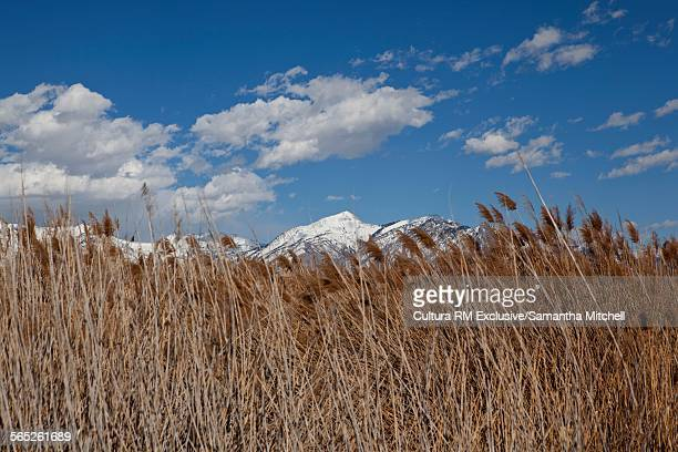 View of reeds in front of snow capped mountain, Lehi, Utah, USA