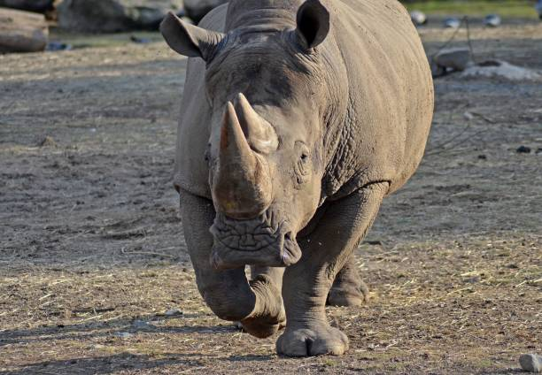 View of rhino running