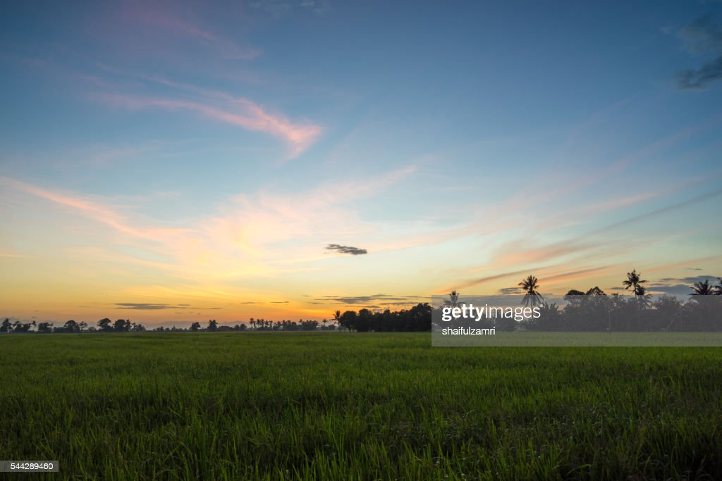 View of rice fields in Sungai Besar - well known as one of the major rice supplier in Malaysia. : Stock Photo