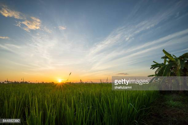 view of rice fields in sungai besar - well known as one of the major rice supplier in malaysia. - shaifulzamri photos et images de collection