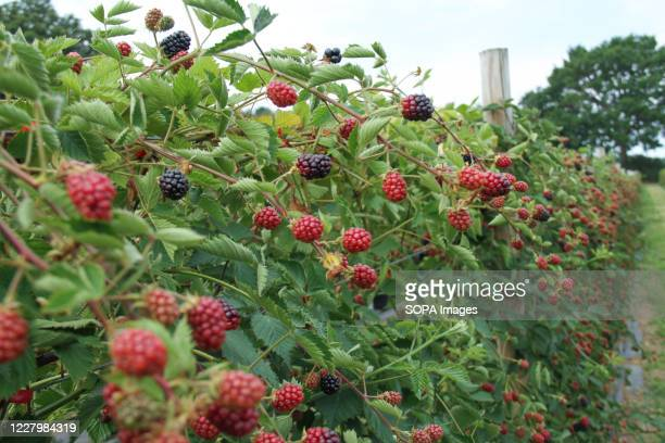 A view of ripe raspberries at the Parkside Farm Pick Your Own Pick your own crop farms is a popular summer 'event' in the UK with people going to...