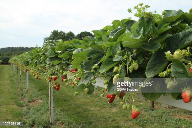 A view of ripe strawberries at the Parkside Farm Pick Your Own Pick your own crop farms is a popular summer 'event' in the UK with people going to...