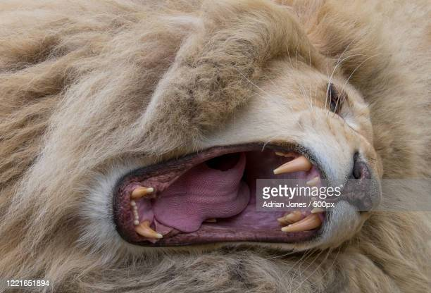 view of roaring lion - one animal stock pictures, royalty-free photos & images