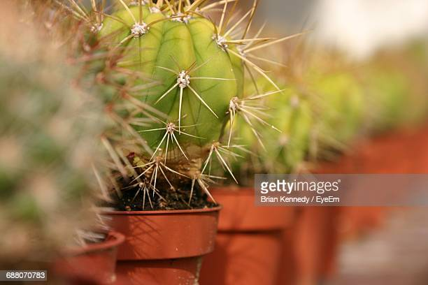 View Of Row Of Cactus Plant In Pot