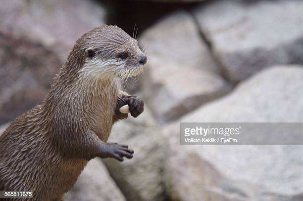 view of sea otter - sea otter stock photos and pictures