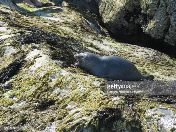 view of seal on rock - frederick - fotografias e filmes do acervo