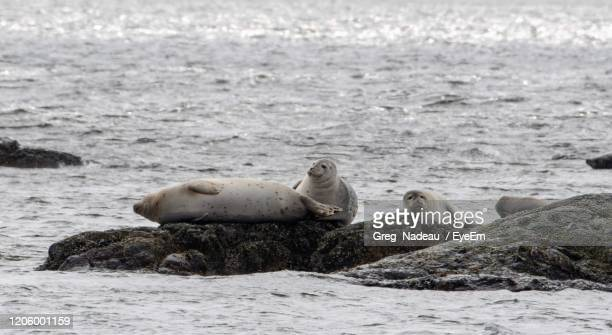 view of seals resting on beach - greg nadeau stock pictures, royalty-free photos & images