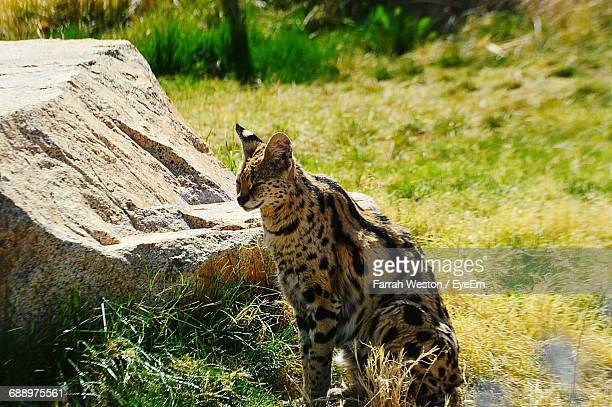 View Of Serval In The Wildlife