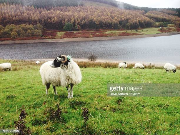 view of sheep grazing on field - dave ashwin stock pictures, royalty-free photos & images