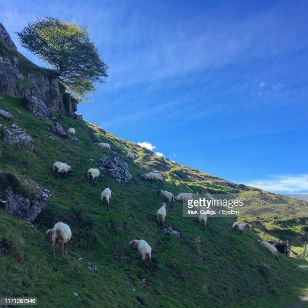 View Of Sheep Grazing On Grassy Mountain