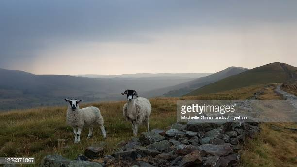 view of sheep on field against sky - sheep stock pictures, royalty-free photos & images