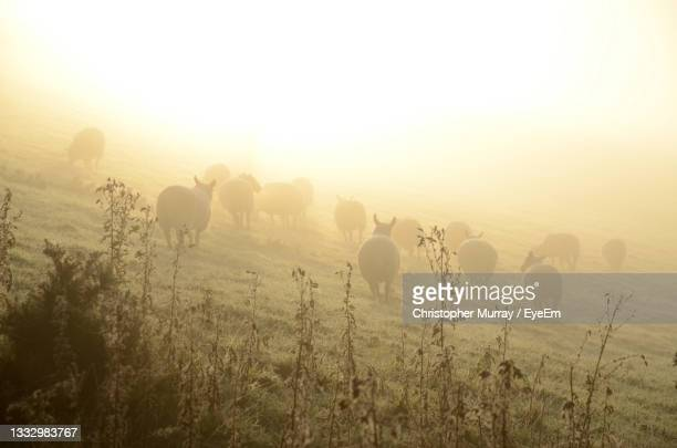 view of sheep on field in sunlit fog - medium group of animals stock pictures, royalty-free photos & images