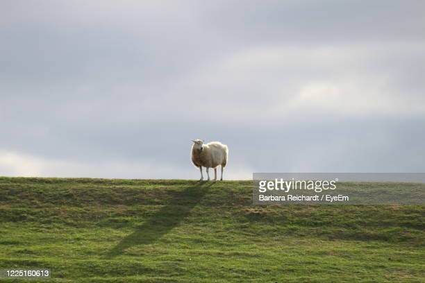 view of sheep on field - one animal stock pictures, royalty-free photos & images