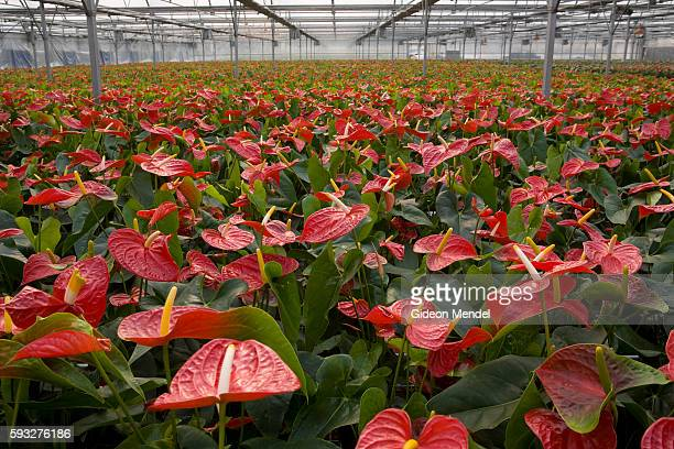 A view of some of the approximately 80000 Anthurium plants being grown in the immense ThreeHi Technology Agriculture Pilot Model Center This is in...