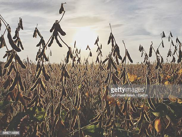 view of soybean field against cloudy sky - sibley stock photos and pictures