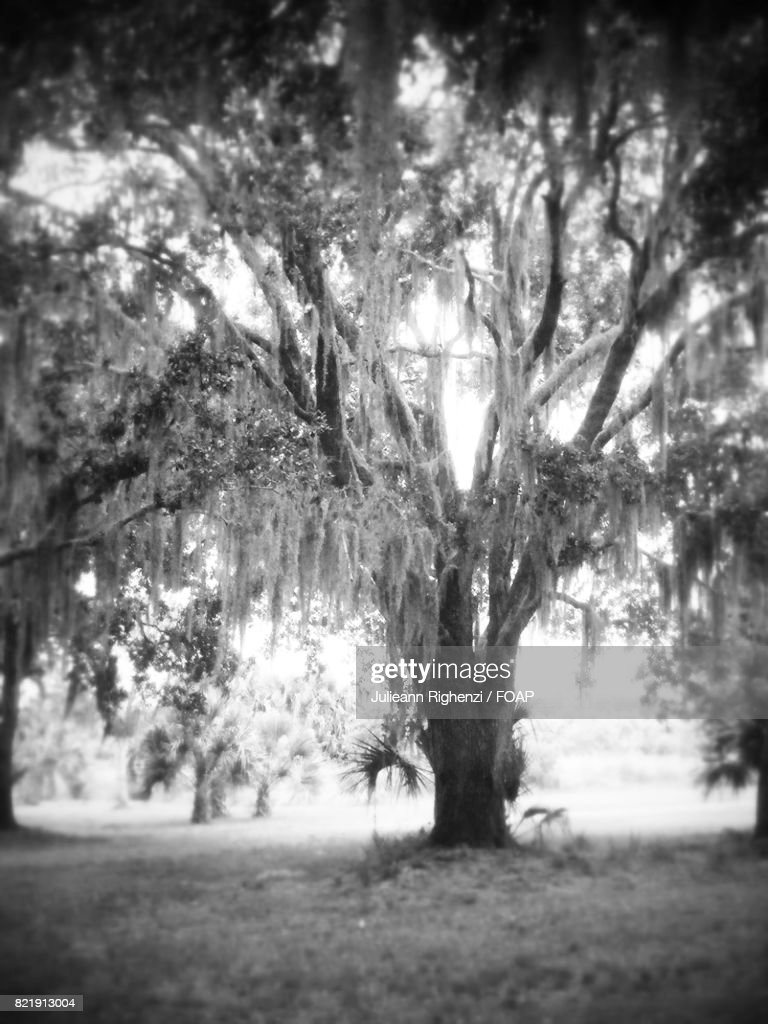 View of spanish moss trees in forest : Stock Photo