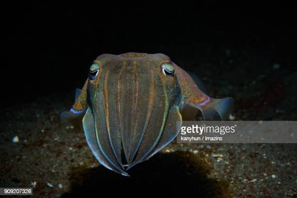 view of squid swimming under the water - negros oriental stock pictures, royalty-free photos & images