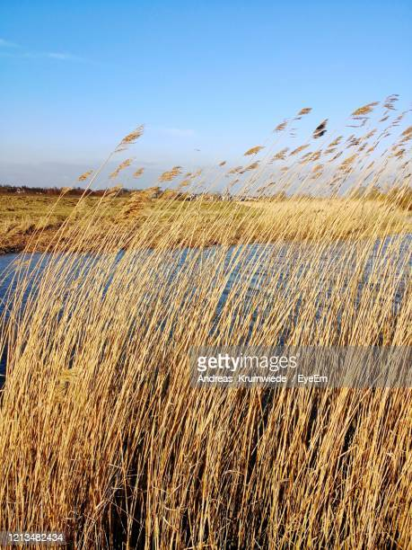 view of stalks in field against blue sky - andreas solar stock pictures, royalty-free photos & images