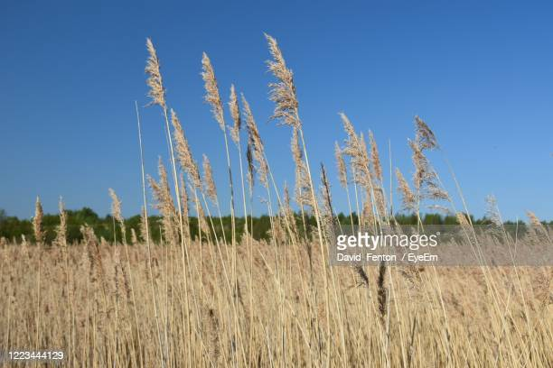 view of stalks in field against blue sky - gras stock pictures, royalty-free photos & images