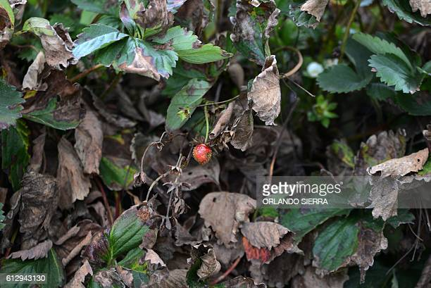 View of strawberries lost due to a fungus that experts report is caused by climate change in La Tigra 15 km northwest of Tegucigalpa on September 25...