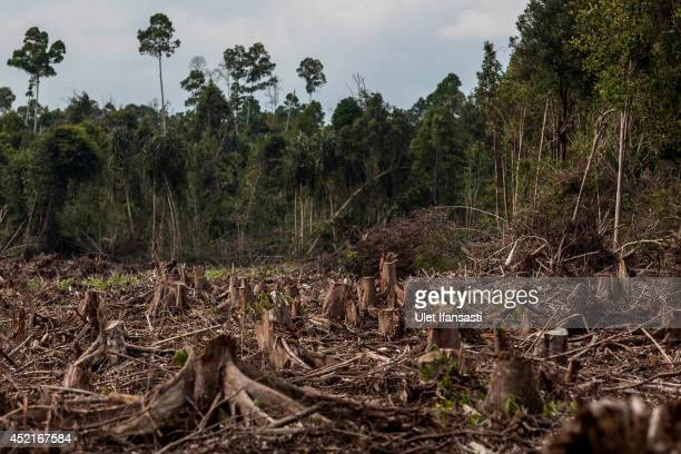 View of stumps in recently deforested of peat natural forest located on the concession of PT RAPP , a subsidiary of APRIL group which is being...