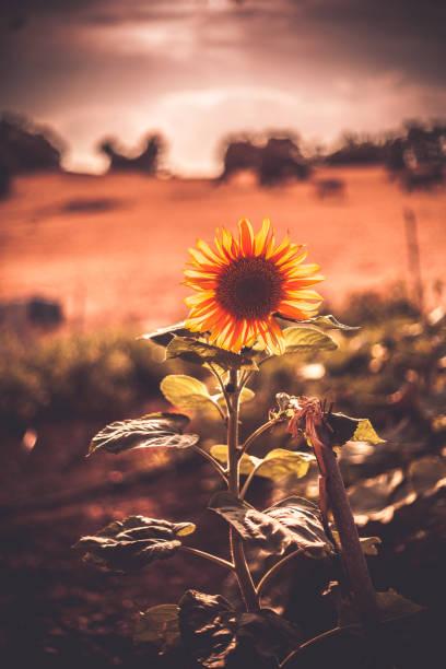View of sunflower in field at sunset, Ankara, Turkey
