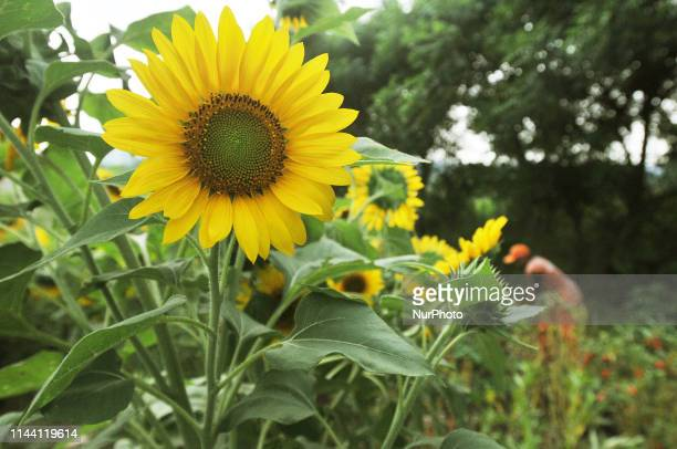 A view of Sunflower park in Jakarta Indonesia on May 17 2019 The Community Facilities and Infrastructure Management Officer cared for the Sunflower...