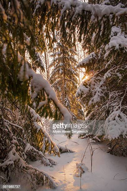 View of sunlight between snow covered forest fir tees, Sarsy village, Sverdlovsk Oblast, Russia