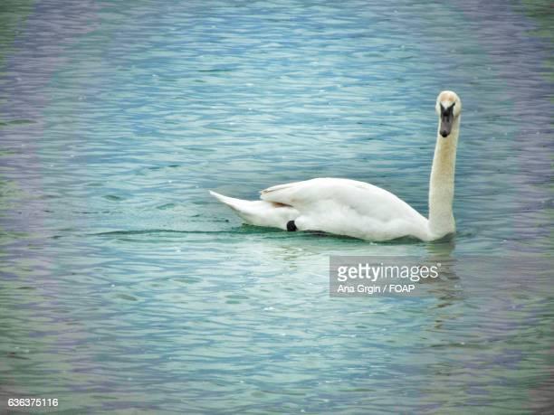 View of swan in lake